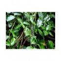 Euonymus fortunei 'Tustin' - Celastraceae - Fusain