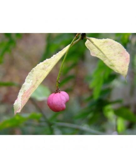 Euonymus hamiltonianus subsp. Sieboldianus - Fusain
