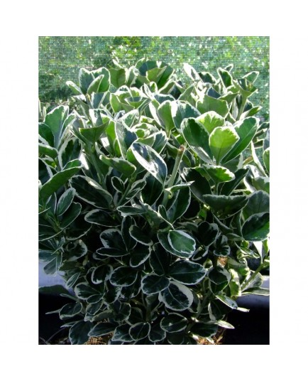 Euonymus japonicus 'Kathy'