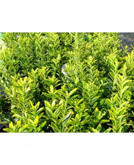 Euonymus japonicus 'Microphyllus Aureovariegatus' - Fusain