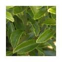 Euonymus japonicus 'Microphyllus' - fusains du Japon, fusains à bordure,