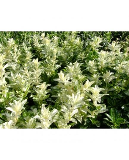 Euonymus japonicus 'Pierrolino'® - Fusain du Japon