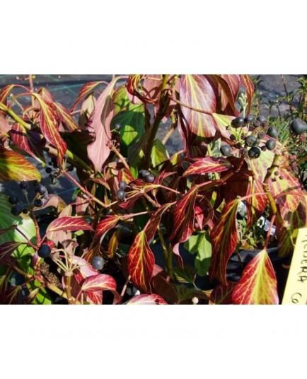 Hedera colchica 'Arborescens' - lierre de Colchide