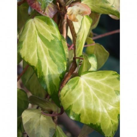 Hedera colchica 'Sulphur Heart' - Lierre panaché