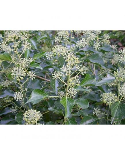 Hedera helix 'Arborescens' - lierres de Perse,