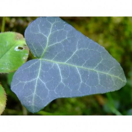 Hedera helix 'Atropurpurea' - Lierre pourpre