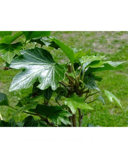 Hedera helix 'Green Ripple' - Lierre découpé