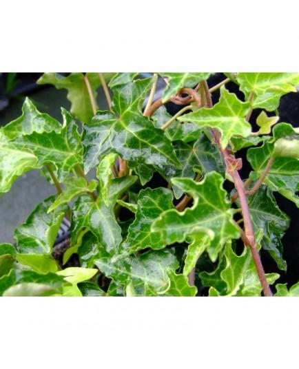 Hedera helix 'Ivalace' - Lierre à feulle crispée