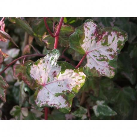 Hedera helix 'Kolibri' - Lierre panaché
