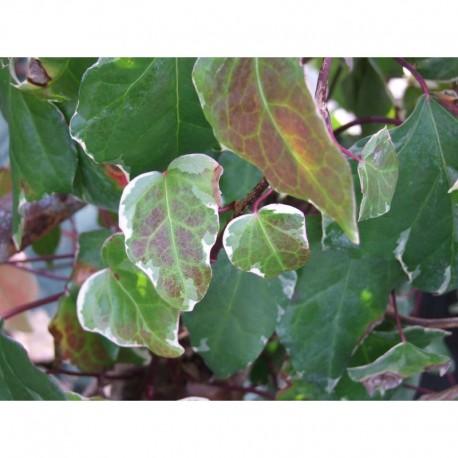 Hedera helix 'Marginata Elegantissima'- Lierre panaché