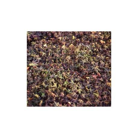 Hedera helix 'Sagittifolia' - Lierre sagitté
