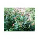 Hypericum androsaemum 'Autumn Blaze' - millepertuis arbustif