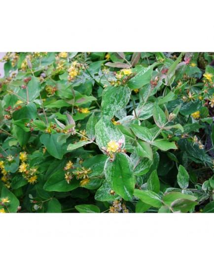 Hypericum androsaemum 'Glawdys Brabason' - Millepertuis panaché