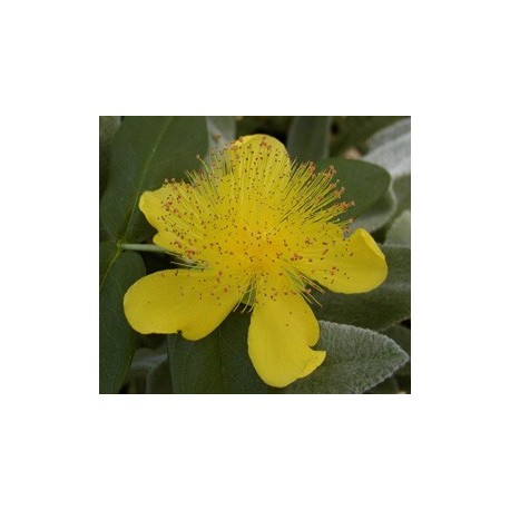Hypericum calycinum - Millepertuis rampant
