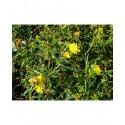 Hypericum densiflorum 'Buttercup' - millepertuis