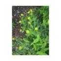 Hypericum hircinum - Millepertuis