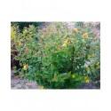 Hypericum inodorum x 'Elstead' - Millepertuis arbuste