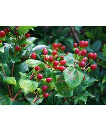 Hypericum inodorum x 'Excellent Flair' - Millepertuis