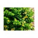 Hypericum inodorum x 'Lime light' - millepertuis arbustif