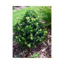 Hypericum inodorum x 'Magical Lime light' - millepertuis arbustif