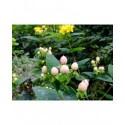 Hypericum inodorum x 'Magical Beauty' - millepertuis arbustif