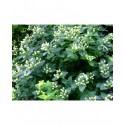 Hypericum inodorum x 'Magical White' - meillepertuis arbustif