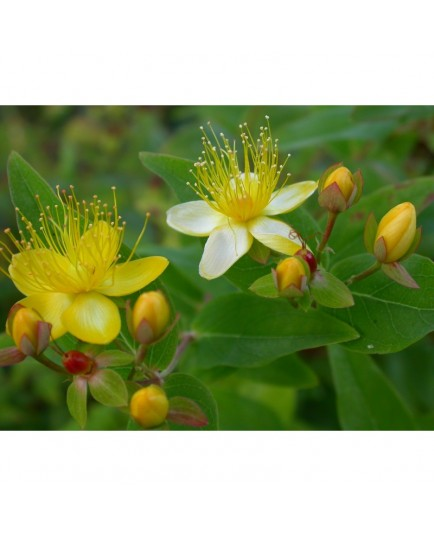 Hypericum inodorum x 'Orange Flair' - Millepertuis