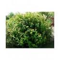Hypericum inodorum x 'Rheingold' - millepertuis arbustif