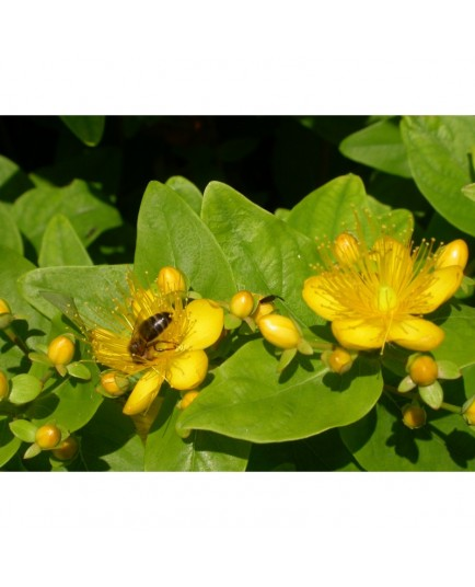 Hypericum inodorum x 'Summergold' - Millepertuis
