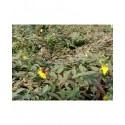 Hypericum moserianum 'Tricolor' - Millepertuis panaché