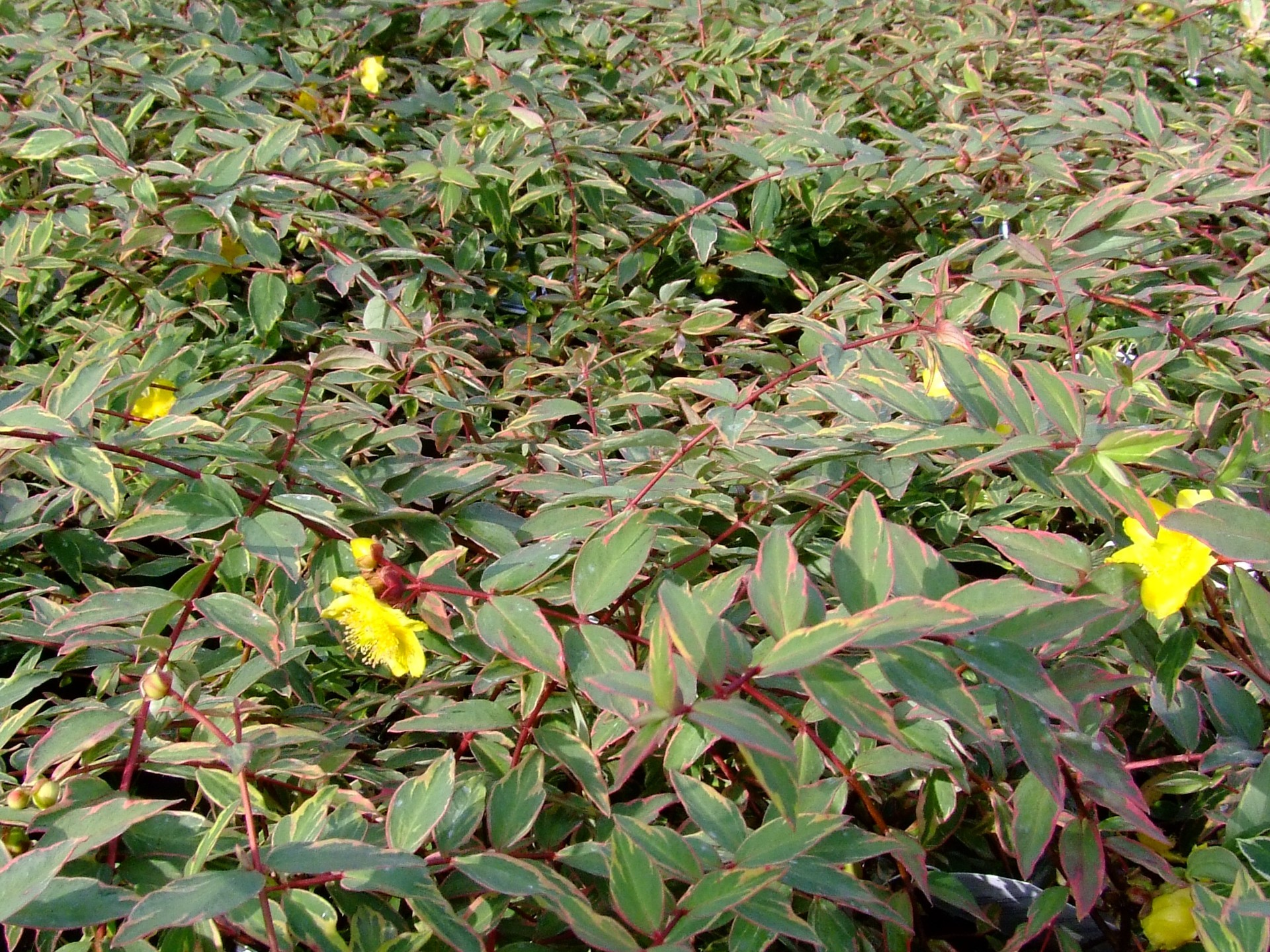 Picture of Live St. Johnswort (variegtd) aka Hypericum moserianum 'Tricolor' Plant Fit 5 Gallon Pot