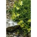 Hypericum olympicum 'Citrinum' - Millepertuis de l'Olympe citron