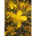 Hypericum olympicum -Millepertuis de l'Olympe