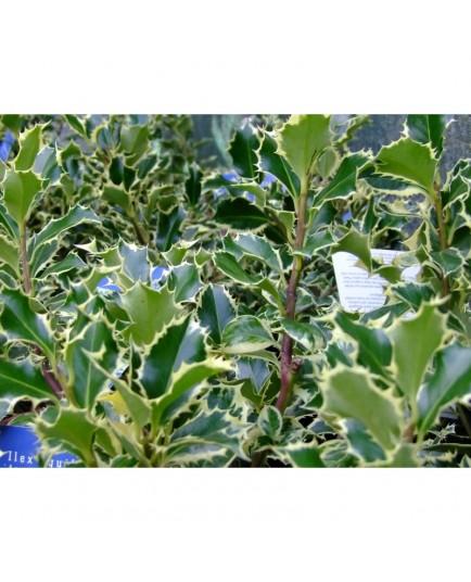 Ilex aquifolium 'Argentea Marginata' - Houx panaché