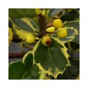Ilex aquifolium 'Aurea Marginata' - houx,