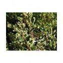 Ilex aquifolium 'Ferox Argentea' - houx-hérisson,