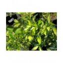 Ilex aquifolium 'Myrtifolia Aurea Maculata' - houx à feuille de myrte panaché