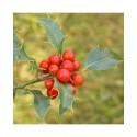Ilex aquifolium 'Alaska' - houx,