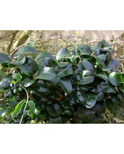 Ligustrum japonicum 'Rotundifolium' - Troène à feuile de camelia. troène à feuilles coriaces