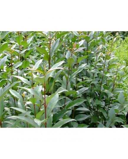 Ligustrum japonicum - Troène Du Japon