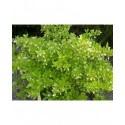 Ligustrum obtusifolium 'Dart's Elite' - Troène à feuilles obtuses