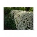 Ligustrum ovalifolium 'Argenteum' - troènes panachés, troènes argentés,