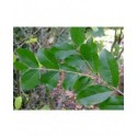 Ligustrum strongylophyllum - Troène