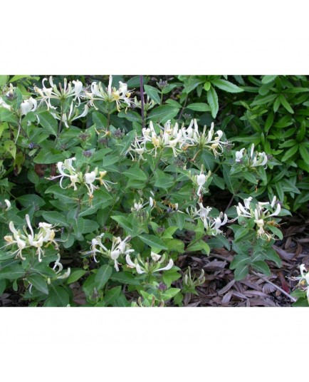 Lonicera 'Honey Baby' ®' - Chèvrefeuille nain