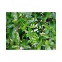 Lonicera japonica 'Aureoreticulata' - chèvrefeuille grimpant panaché ,
