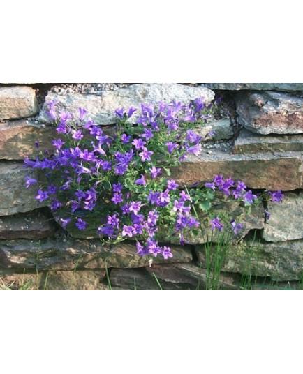 Campanula portenschlagiana - Campanule des murailles