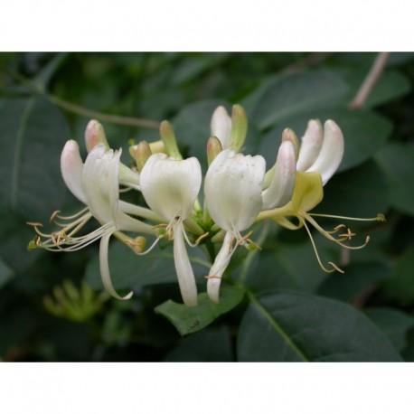 Lonicera periclymenum - Chèvrefeuille des bois, Honeysuckle