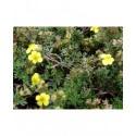 Potentilla fruticosa 'Elizabeth' ( Sutter's Gold)- potentille arbuste