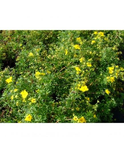 Potentilla fruticosa 'Goldfinger' - potentille arbustive naine
