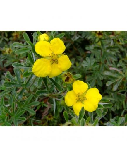 Potentilla fruticosa 'Goldstar' - potentille